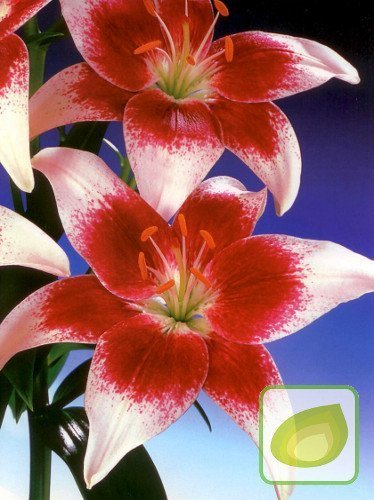 Lilia (Lilium) Strawberry and Cream