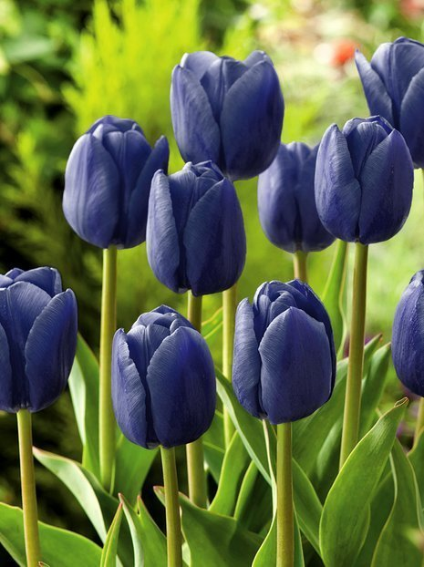 Tulipan Blue Aimable